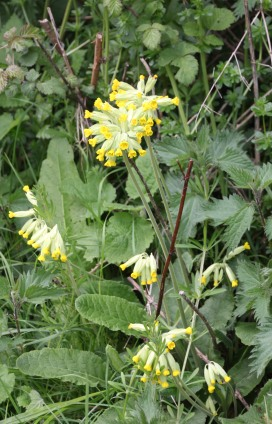 Cowslip(Primula veris)