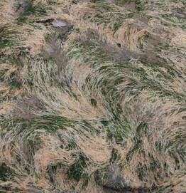 Green seaweeds (Ulva species)