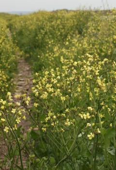 Rape (Brassica napus)