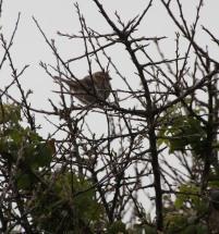 House Sparrow(Passer domesticus)