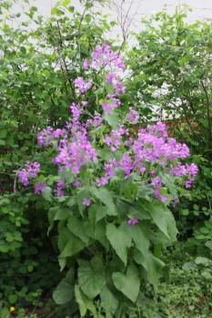 Cuckoo flowers (Cardamine pratensis)