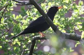 Blackbird(Turdus merula)