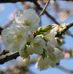 Prunus or Malus trees