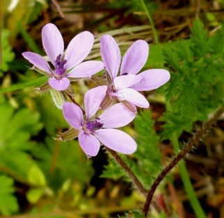 Common Stork's-bill (Erodium cicutarium)