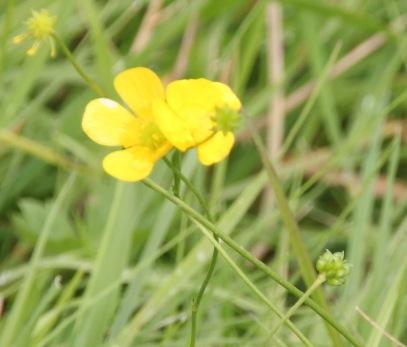 Buttercups (Ranunculus repens)