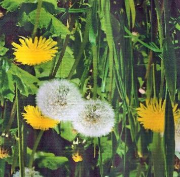 Dandelions(Taraxacum officinale)