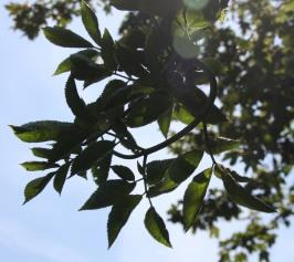 Elder(Sambucus nigra )