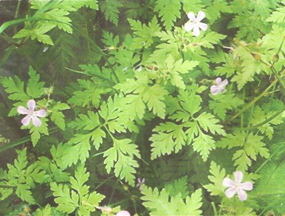Herb Robert(Geranium robertianum)