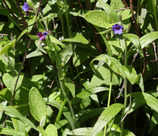 Hounds-tongue (Cynoglossum officinale)