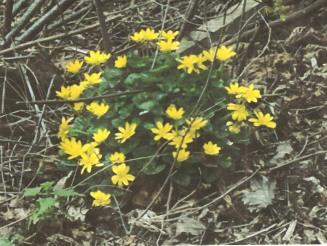Lesser Celandines(Ranunculus ficaria)
