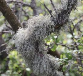 Lichen(Usnea subfloridana )