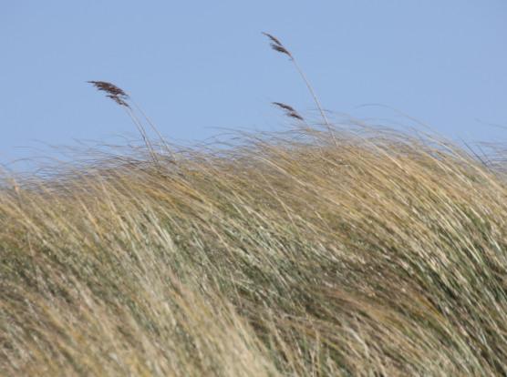 Maram-grass (Ammophila arenaria)