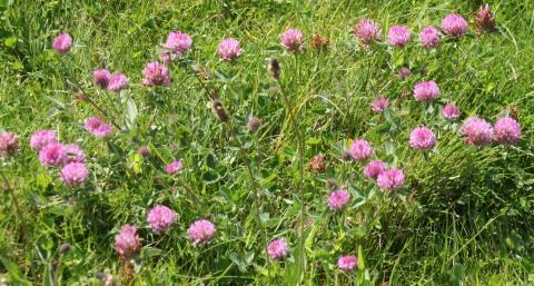 Pink Clover (Trifolium pratense)