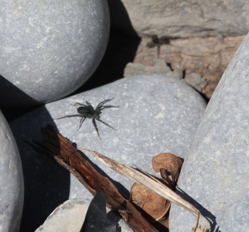 spiders (Gnaphosidae)
