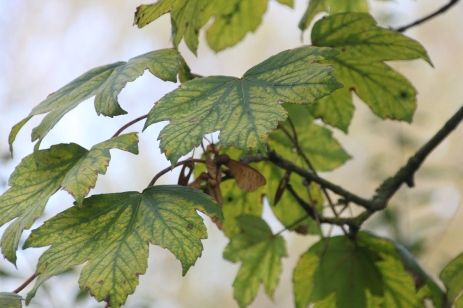 Sycamore (Acer pseudoplantus)