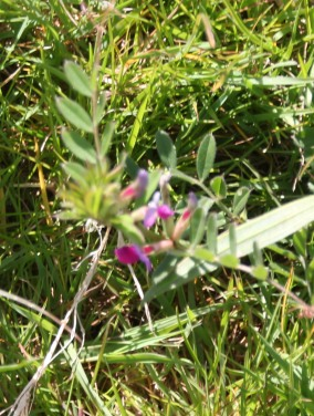 Vetch (Vicia sativa)