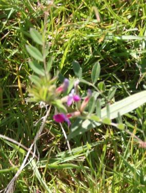 Vetch (Vicia sativa)