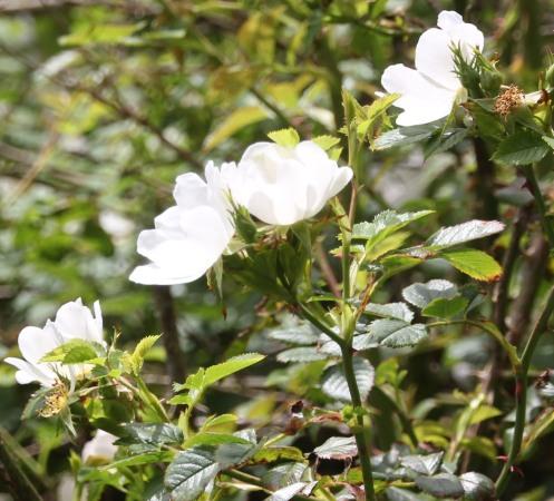 Dog Roses ( Rosa canina)