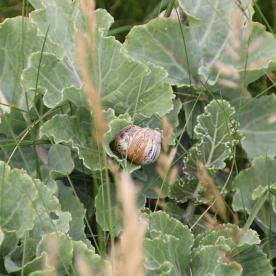 Sea Cabbage (Crambe maritima )