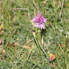 Pyramidal Orchids (Anacamptis pyramidalis )