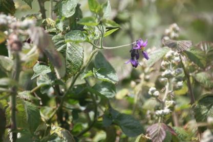 Bittersweet (Solanum dulcamara)