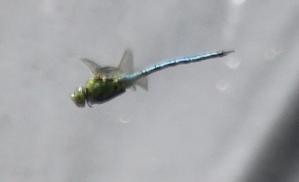 Blue Dragonfly ? Emporer Dragonfly (Anax imperaya)