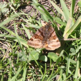 Burnet Companion Moth (Euclidia glyphica )