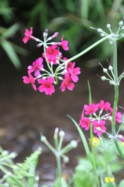 Candelabra Primula