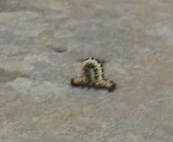 Caterpillar Magpie Moth (Abraxas grassulariata )