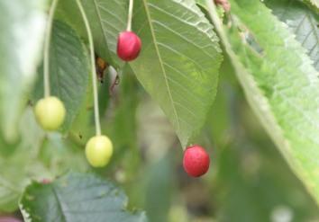 Cherry trees (Prunus avium) bearing fruit