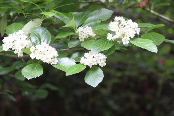 Rare Cockspur Thorn (Crataegus crus-galli)