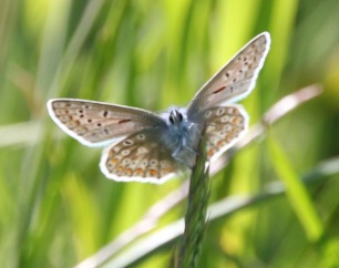 Common Blue (Polyommatacus icaris) underside