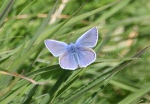 Common Blue (Polyommatacus icaris)