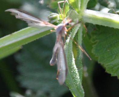 Crane Flies ( Tipulidae)
