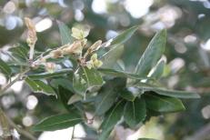 Evergreen Oak (Quercus ilex)