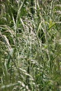 False Oat-grass (Arrhenatherum elatus)