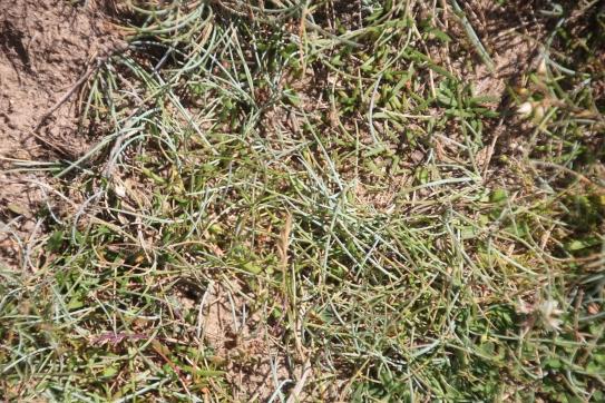 Blue grass Festuca