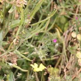 Field Madder (Sherardia arvensis )
