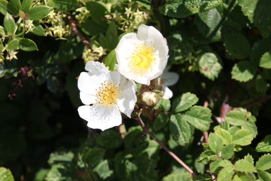 Field Rose (Rosa avensis)