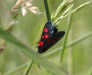 Five-spot Burnet moth (Zygaena trifolii)
