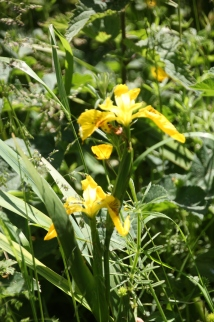 Flag Iris( Iris pseudocorus)