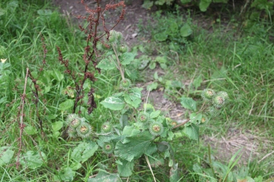 Greater Burdock ( Articum lappa)
