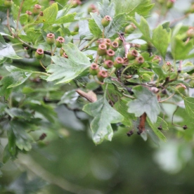 Green Hawthorn berries