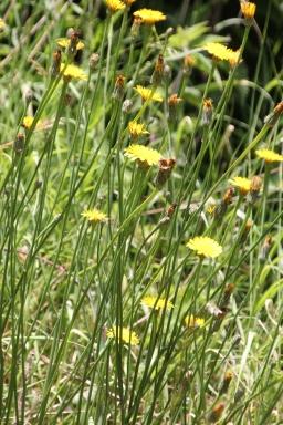Hawkweed (Hieracium species)