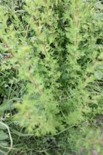 Hedge Bedstraw (Gallium mollugo )