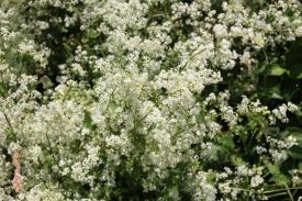 Hedge Bedstraw (Galium mollugo)