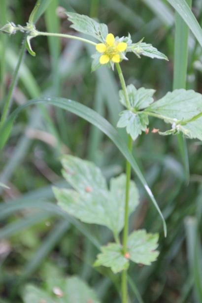 Herb Bennet or Wood Avens (Geum urbanum)