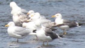 Lesser Black- backed & Herring gulls