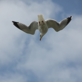 Herring Gull in flight (Larus argentatus)