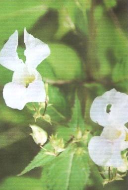 Himalayan Balsam (Impatiens glandulifera )